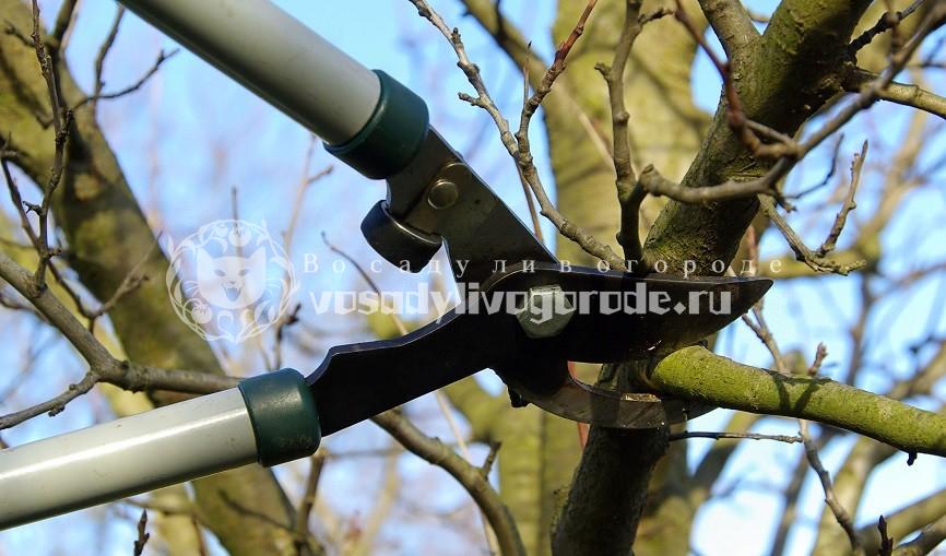 слива, дерево, фото
