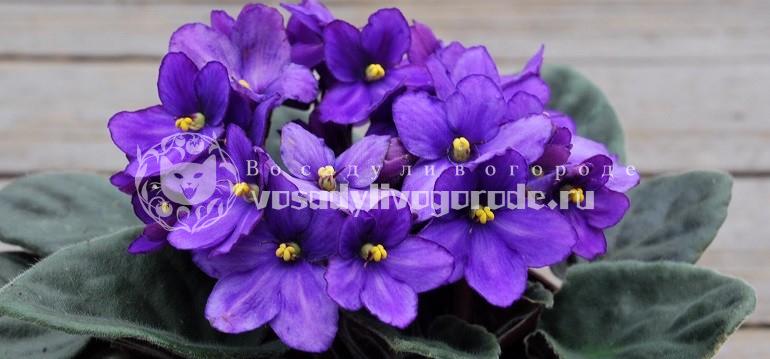 фиалка, цветы, комнатные растения, фото