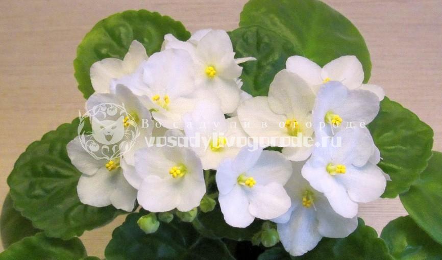 фиалки, цветы, комнатные растения, фото