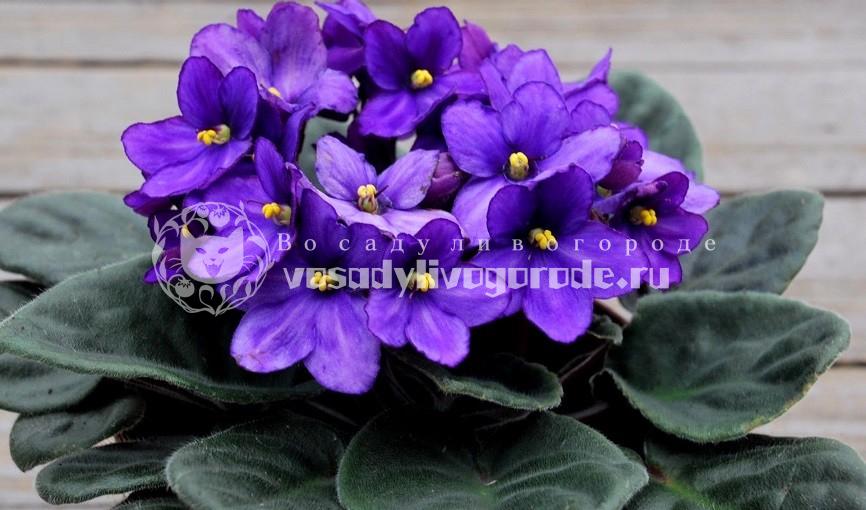 фиалки, цветы, фото, комнатные растения