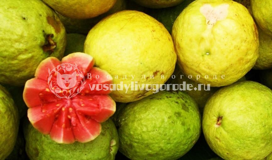 гуава, фрукт, фото
