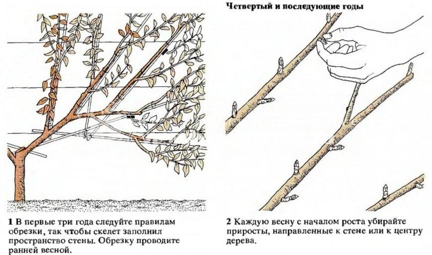 слива, дерево, куст