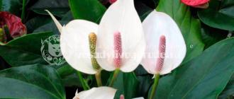 цветок, каннолистный, фото