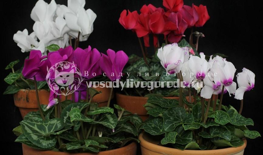 цвет, фото, персидский, уход, цветок, из семян