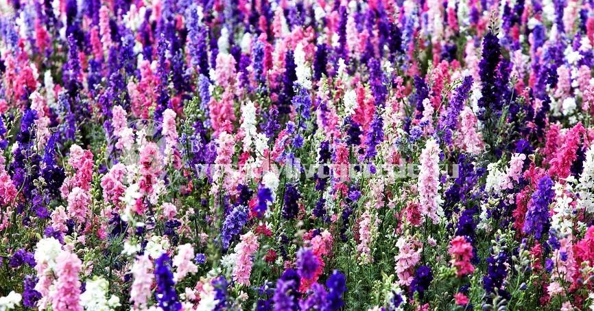многолетний, фото, посадка, уход, после цветения, грандифлора, высокий мэджик