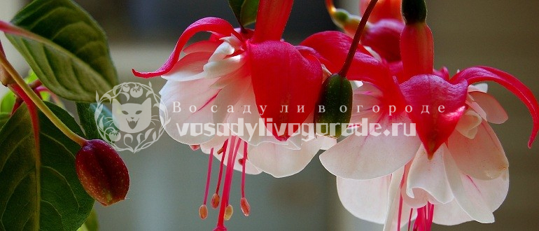 цвет, фото, уход, сорта, цветок, гибридная, фуксия