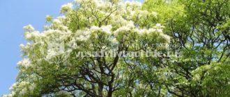 дерево, как выглядит, картинки, фото листьев и семян