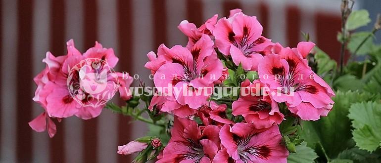 герань, цветок, дача, куст, фото, уход, полив