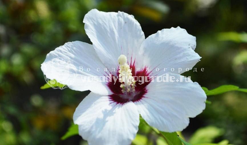 цветок смерти,комнатный, садовый, уход, размножение, сирийский, китайский
