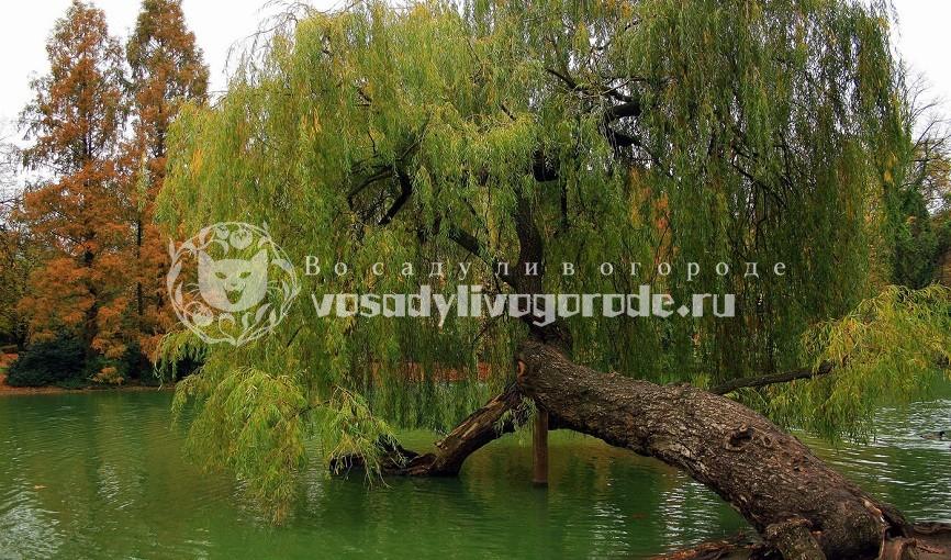 шаровидная, козья, ломкая, белая, пурпурная, плакучая, дерево. фото