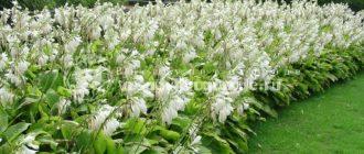 растение, фото, купить, как размножается, сочи, липстик, патриот, либерти