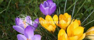 цветок, крокус, фото, уход за цветком