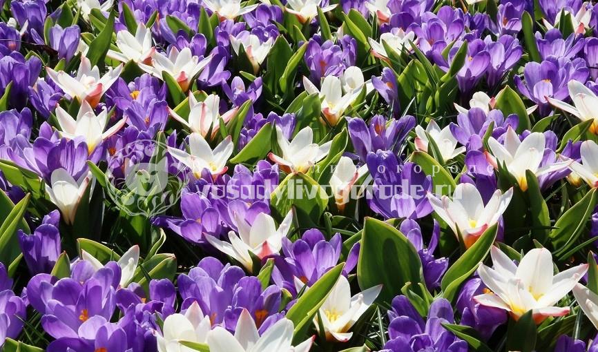 крокус, цветок, ухаживание за цветком