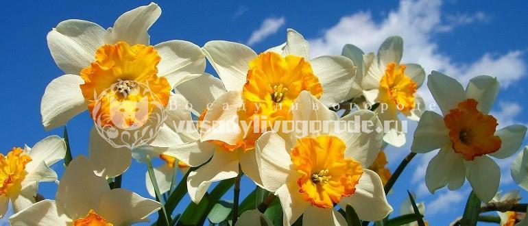 цветок, смерти, фото, значение, легенда, как выглядит, рисунок