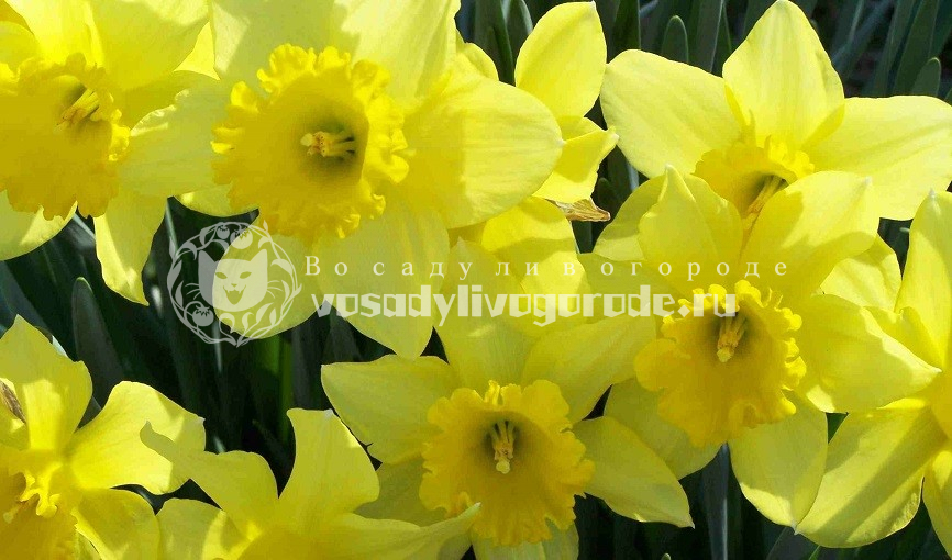 нарцисс, цветок, растение, уход, полив, удобрение