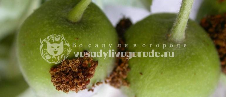 как еще называется, на яблоне, яблоневая, на груше, сливовая