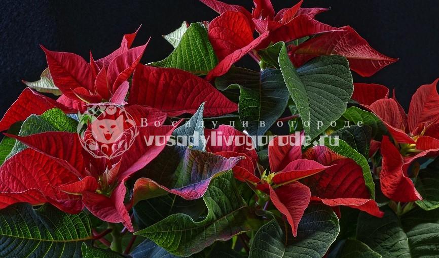 пуансетии, цветок, грунт, пересадка, размножение, обрезка