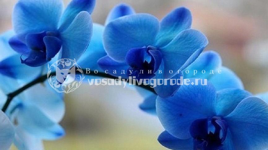крашенные или настоящие, фаленопсис, купить, бывают, в природе, фото, букет