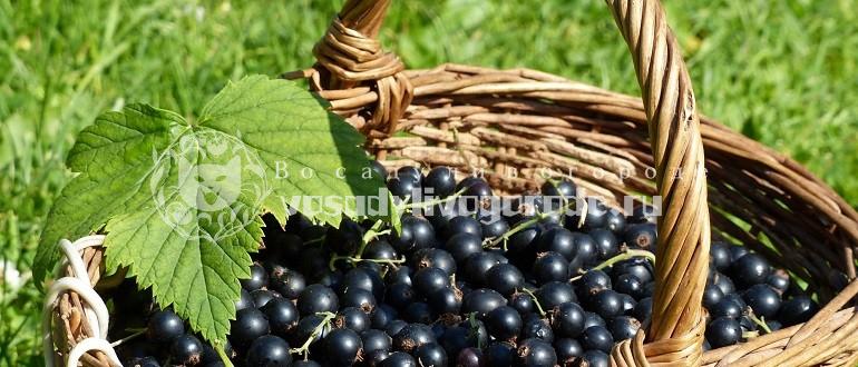 смородина, ягоды, листья смородины, фото