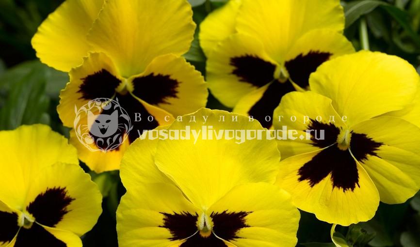 выращивание из семян, ампельная, крупноцветковая смесь, inspire , viola x wittrockiana magnum f1 pink shades