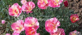 выращивание, из семян, когда сажать, посадка, уход, калифорнийская, картинки, розовый шифон, многолетняя
