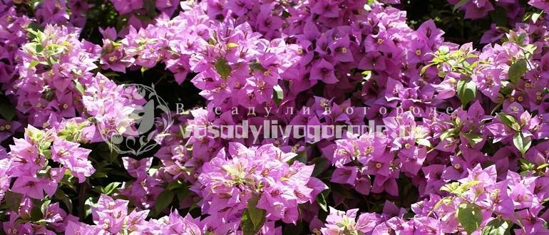 фото, выращивание, уход, купить, цветок, размножение, видео