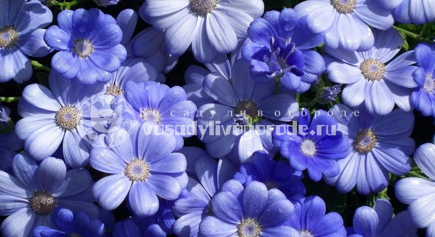 синий, роули, болотный, плосколистный, уход, обыкновенный, серебристая, приморская, гибридная, посадка