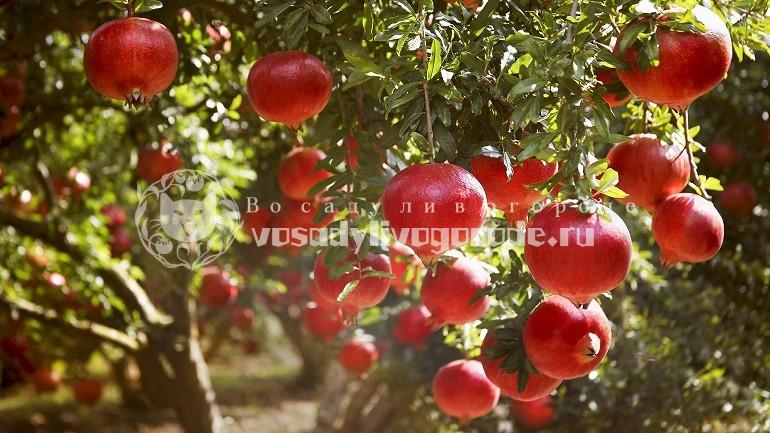 В каких странах и как растет гранат в природе: описание и виды, выращивание фрукта на даче и дома