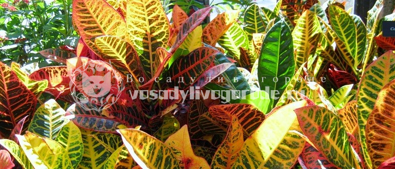 уход, купить, фото, приметы, суеверия, разновидности, растение, размножение, мини, выращивание, виды