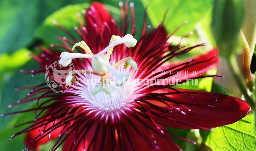 что это, ру, из семян, польза и вред, капли, цветок, цена, отзывы, таблетки