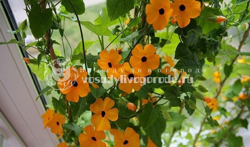 выращивание из семян, фото, посадка, уход, крылатая, мантия короля, из семян