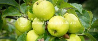 яблоня, сорта, фото