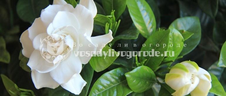 бич, жасминовидная, уход, фото, цветок, в цвету