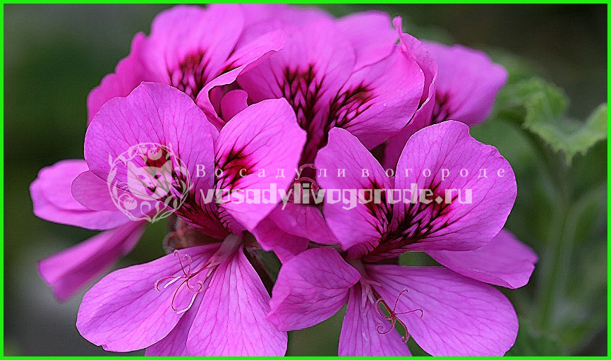 из семян, выращивание, зональная, уход, душистая, плющелистная, фото, королевская, купить