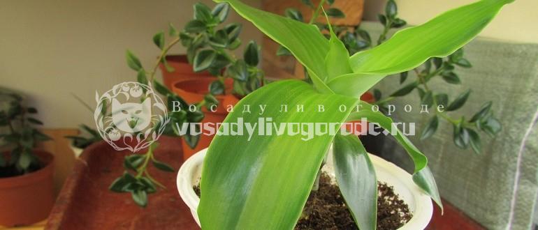 каллизия, ползучая, цветок, золотой ус, изящная, репенс, растение