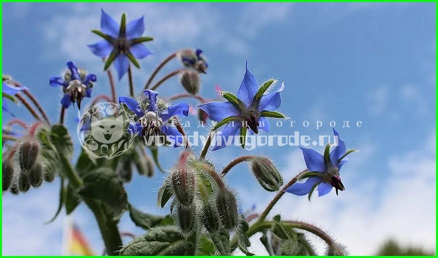 огуречная трава, посадка, уход, полезные свойства, семена, амарант, фото, купить