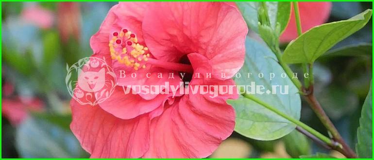 цветок смерти, уход, купить, листья, травянистый, фото, чай