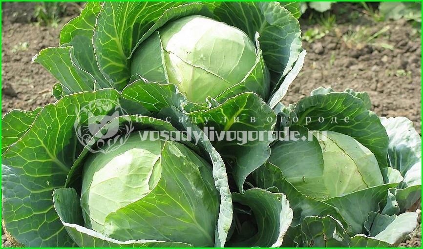 посадка, уход, фото,семена, рецепты, брокколи, брюссельская