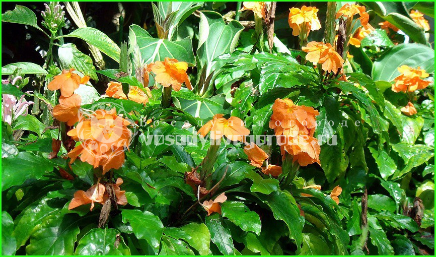 цветок, уход, в домашних, фото, выращивание, купить, размножение, болезни