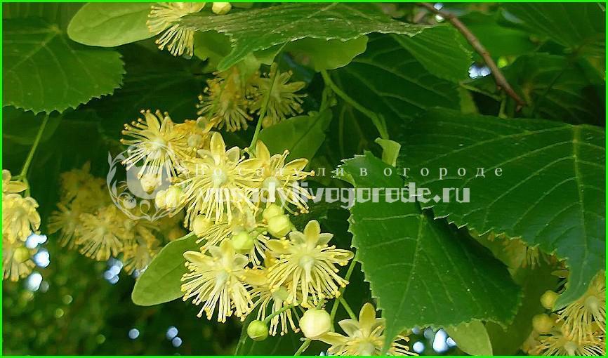 липа,лечебная,для похудения,дерево,полезные,свойства,применение,противопоказания,мед,описание,плоды,цветки,чай