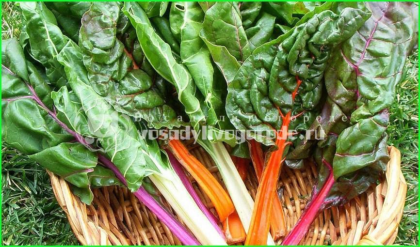 салат, рецепт, семена, польза, вред, листья, сорта, рассада