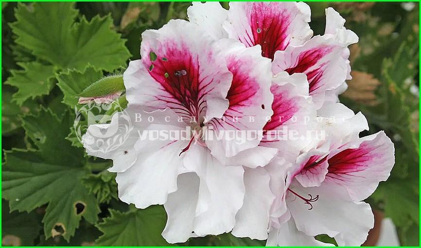купить, из семян, фото, листья, отзывы, душистая, королевская, квантум, когда цветет