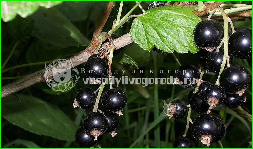 черная смородина,рецепты,ягоды,куст,свойства,описание,польза,компот,противопоказания,в домашних условиях,состав,калорийность