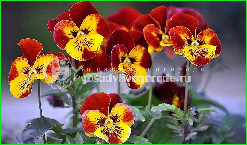 фиалки, из семян, рассада, фото, букет, как вырастить, как посадить