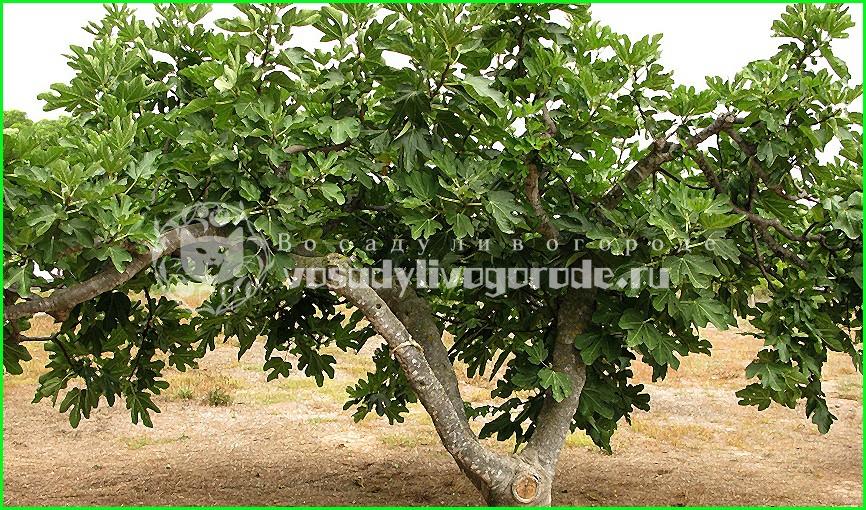 инжир, фото, плоды, сканворд, дерево, залив, кипр, индийское