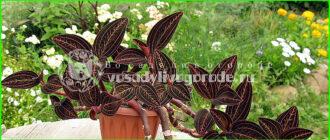 орхидея, уход, фото, в домашних условиях, драгоценная, размножение