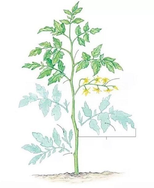 Обрезка листьев у помидор