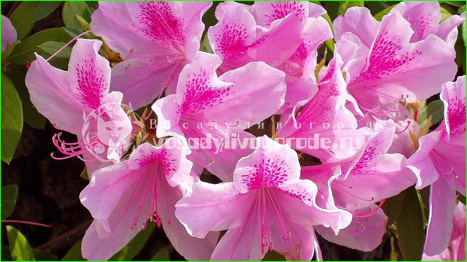 цвет, дома, японская, лазаревское, значение, уход, выращивание, удобрение, фото