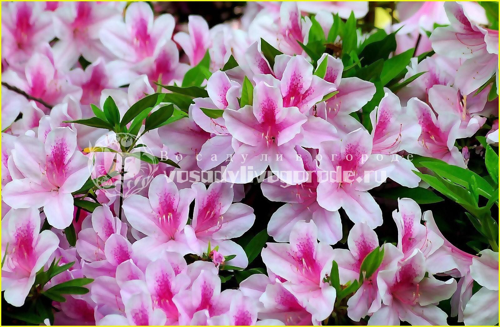 цвет, фото, цветок, салон, значение, пересадка, уход, как пересадить, сохнет