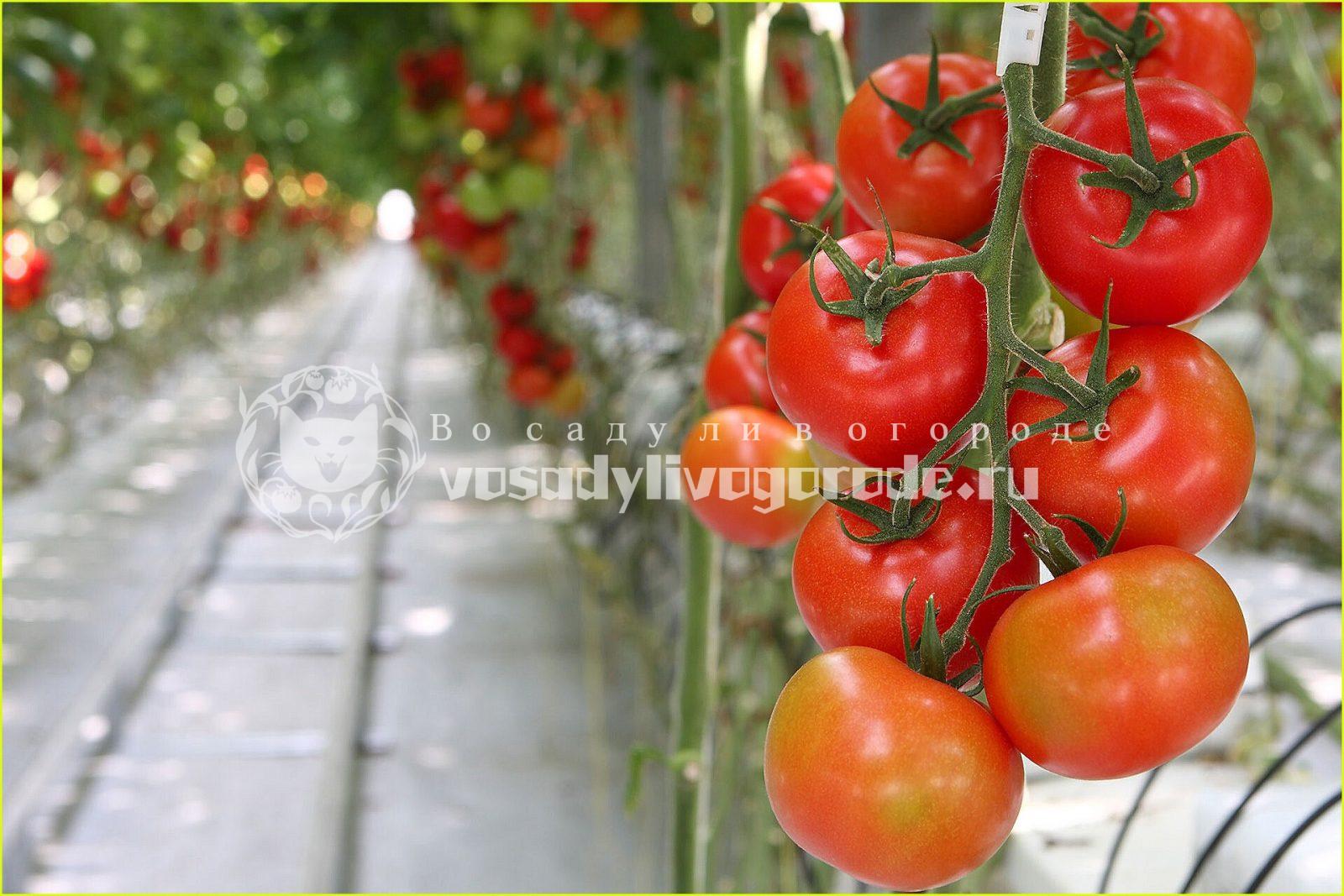посадки, овощи,урожай, огород, томаты, огурцы